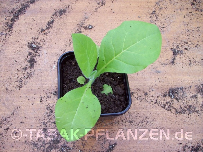 Tabakpflanze Kaufen Baumarkt : 4 tabakpflanzen pergeu nicotiana tabacum jungpflanzen ntp090609 3 tabakpflanzen 4 ~ Yuntae.com Dekorationen Ideen