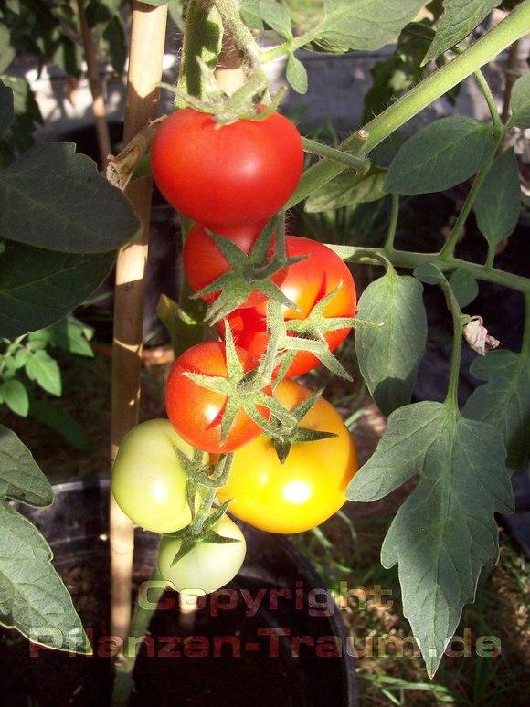 tomaten aussaat aussaat jetzt geht es los tomaten. Black Bedroom Furniture Sets. Home Design Ideas